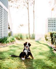 Bernese Puppy (PeterStout) Tags: pentax6x7 pentax105 fuji400h obx bernese bernesemountaindog filmisnotdead puppy