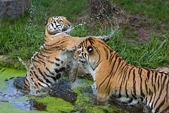 fighten (Mel.Rick) Tags: natur tiger siberiantiger sibirischertiger amurtiger raubtiere raubkatzen groskatzen zooduisburg tiere säugetiere dasha makar pantheratigrisaltaica