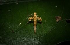 Gracillariidae (dustaway) Tags: arthropoda insecta lepidoptera gracillariidae australianmoths australianinsects rotarypark rprr rainforest lismore northernrivers nsw nature australia