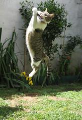 Kiwa (Marina-Inamar) Tags: gatos felinos felino salto jugando