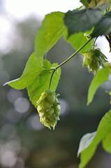 Hop Cone (nra45acp) Tags: hops homebrew beergeek