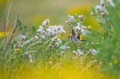 Chardonneret élégant (kingfisher001) Tags: chardonneretélégant europeangoldfinch carduelis passereau fringillidés passériformes oiseaux envol