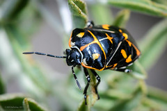 Harlequin Bug (halladaybill) Tags: uppernewportbay harlequinbug invasivespecies nikond500 nikkor105micro orangecounty newportbeach newportbayconservancy bladderpod animal bug