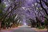 Jacarandas (Dreamcatcher photos) Tags: pretoria southafrica street blossoms acacia spring road