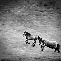 an evening run (»alex«) Tags: horse horses running gallop galloping field countryside mountain lakedistrict freedom two pair squareformat blackandwhite blackwhite bw evening castlerigg keswick farm motion