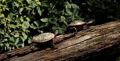 """This is how I do yoga. (*Millie*-Catching up with you in the weekend"""") Tags: turtles yoga log tree outdoors unioncanaltunnelpark lebanonpennsylvania canal"""