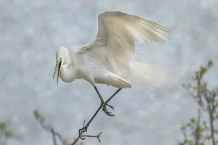 Great White Egret - Sky Dancer #1