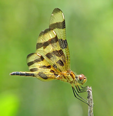 Halloween pennant blowing in the wind (Vicki's Nature) Tags: halloweenpennant female brown gold golden spots stripes wind biello georgia vickisnature canon s5 0130