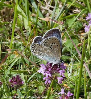 Large Blue Nectaring 2 2017