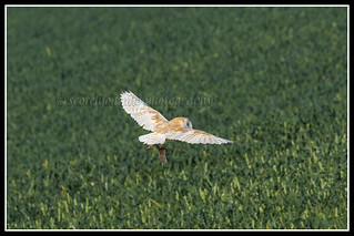 IMG_0188 Barn Owl