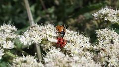 Ladybirds (Nick:Wood) Tags: knowle solihull ladybird ladybug harmoniaaxyridis harlequinladybird sevenspotladybird coccinellaseptempunctata insect wildlife nature