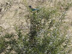 P1150377 Zimbabwe (4) (archaeologist_d) Tags: zimbabwe zambezinationalpark lilacbreastedroller africa southernafrica safari