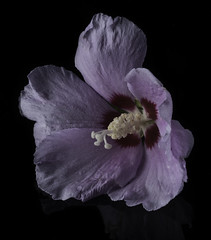Purple Flower With A Scarlet Center (Bill Gracey 15 Million Views) Tags: fleur flower flor color colorful nature naturalbeauty purple scarlet lakeside offcameraflash yongnuorf603n yongnuo perspex blackbackground homestudio macrolens sidelighting softbox tabletopphotography althea