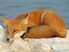 Lazy Days Of Summer (marylee.agnew) Tags: red fox canine summer sun relaxing wildlife nature predator beauty