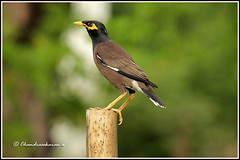 6996 - Common myna (chandrasekaran a 40 lakhs views Thanks to all) Tags: commonmyna birds nature india chennai canon60d tamronsp150600mmg2