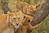 Lions of Maasai Kopjes 412 (Grete Howard) Tags: bestsafarioperator bestsafaricompany africa africansafari africanbush africananimals whichsafaricompany whichsafarioperator tanzania serengeti animals animalsofafrica animalphotos lions lioncubs maasaikopjes kopjes kopje
