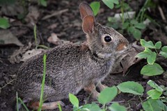wee bunny (marensr) Tags: eastern cottontail rabbit bunny wee little