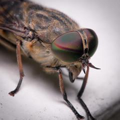 Tabanus bromius (mickmassie) Tags: diptera gardentq209783 insecta tabanidae