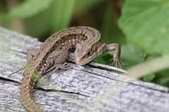 (Zatanen) Tags: lisko ödla lizard viviparous commonlizard zootocavivipara skogsödla reptiles sisilisko waldeidechse lézard lagarto lacerta