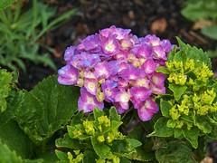 welcome first bloom (MissyPenny) Tags: flower hydrangea pink bristolpennsylvania garden plant