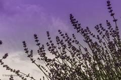 170707 La Maison de Lavande - St-Eustache   -0307-2 (Serge Léonard) Tags: lamaisondelavande villedesteustache lamaisonlavandrecultureetparfumerie parfumerie plantfarm