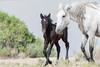 Born Wild (Amy Hudechek Photography) Tags: nikond500 wild horse baby colt foal sandwashbasin colorado nature wildlife amyhudechek