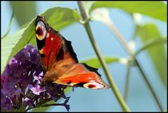Butterfly - Vlinder (HGerritsen) Tags: dagpauwoog aglais io peacock
