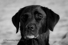 Buddy (Flemming Andersen) Tags: draget nature water dog hund outdoor pet hebojebi seaside animal hurupthy northdenmarkregion denmark dk