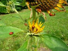 P1270253 (jeanchristophelenglet) Tags: fleur fleurs flower flowers flor flores tournesol sunflower girassol jaune yellow amarelo insecte insect inseto coccinelle ladybug joaninha