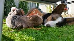 Sir.Loki (Daniella Velings) Tags: sirloki loki welshcorgicardigan corgi bluemerle dog mydog hond love sleepingbeauty peaceful hippo nijlpaard stuffedanimal knuffel cute schattig norsegod norwegianmythology noorsemythologie noorsegod marvel