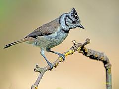 Herrerillo capuchino (Lophophanes cristatus) (14) (eb3alfmiguel) Tags: aves pajáros insectívoros passeriformes paridae herrerillocapuchino