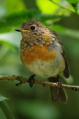Feathers Changing (Hugobian) Tags: young robin fledged chick bird birds nature wildlife british pentax k1 rspb leighton moss