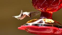 Hummingbird_7118 (Porch Dog) Tags: 2017 garywhittington kentucky nikond750 nikkor200500mm fx wildlife nature hummingbird backyard birdfeeder feathers