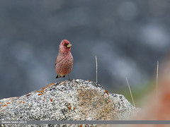 Great Rosefinch (Carpodacus rubicilla) (gilgit2) Tags: avifauna birds canon canoneos7dmarkii category fauna feathers geotagged gilgitbaltistan greatrosefinchcarpodacusrubicilla hunza imranshah location pakistan shisparether species tags tamron tamronsp150600mmf563divcusd wildlife wings gilgit2 carpodacusrubicilla