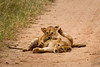 Lions of Maasai Kopjes 453 (Grete Howard) Tags: bestsafarioperator bestsafaricompany africa africansafari africanbush africananimals whichsafaricompany whichsafarioperator tanzania serengeti animals animalsofafrica animalphotos lions lioncubs maasaikopjes kopjes kopje