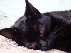 I'm Sooooo Tired (knightbefore_99) Tags: cat kitty sleep nap tired chat gato black noir furry feline baby kitten sweet awesome best golden eyes