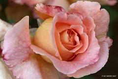 """Und noch eine Rose ... (mo_meede) Tags: """"mo meede"""" """"canon eos 70d digital"""" """"mos fotogarten"""" cannon70d rose entfaltung kälte natur blüten blätter pflanzen sonnenschein regen wind drausen gestern heute garten bunt sonne zeit licht farbig makro macro tiefenschärfe hintergrund hamburg curslack juli 2017"""