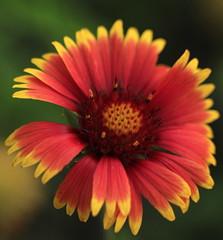 Prairie blanket flower (JoelDeluxe) Tags: southvalley newmexico nm deluxevalleyorchards peaches flowers red orange yellow green joeldeluxe