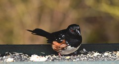 Towhee (careth@2012) Tags: towhee wildlife nature beak feathers bird britishcolumbia