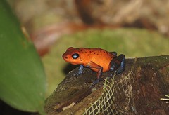 Strawberry poison dart frog (blue jeans) (Oophaga pumilio, formerly Dendrobates pumilio), Dave & Dave's Nature Park, Costa Rica, Dec 2016 (Judith B. Gandy) Tags: frogs amphibians animals bluejeansfrogs costarica davedavesnaturepark poisondartfrogs strawberrypoisondartfrogs