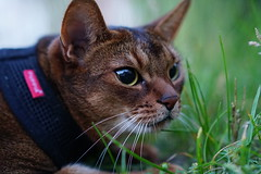 Sneaking up on a bird (DizzieMizzieLizzie) Tags: abyssinian aby beautiful wonderful lizzie dizziemizzielizzie portrait cat chats feline gato gatto katt katze katzen kot meow mirrorless pisica sony a6500 animal pet