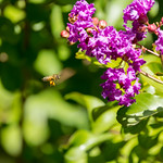 Honey Bee Nectar thumbnail