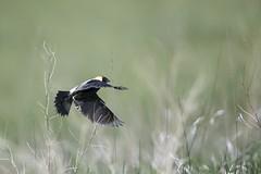 Bobolink in Flight (hunter20ga) Tags: bobolink birdinflight bobolinkinflight bif northdakota prairie prairiebirds grasslands greatplains northerngreatplains birds nikond500 tamron150600