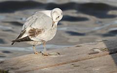 Gaviota (G. Sánchez) Tags: aves gaviotas