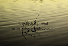 Twigs breaking the calm surface of the lake on sunset (Ashish A) Tags: calm dusk india indianlake lake lakepachmarhi lakeinpachmarhi lakescape madhyapradesh orangehues pachmarhi reflection serene shimmer smallwave sunset twigs twigsinwater twigsonwatersurface water watersurface wave waves