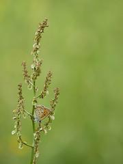En toute simplicité * (Titole) Tags: cuivré rumex shallowdof titole nicolefaton green orange butterfly papillon règledestiers weeds ruleofthirds