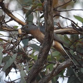 Fan-tailed Cuckoo at Dryandra
