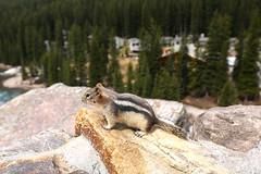 Golden-mantled ground squirrel 2 (cj_hunter) Tags: goldenmantledgroundsquirrel squirrel animal mammal canada banff banffnationalpark nationalpark park fur ground golden goldenmantled rockies rockiemountains