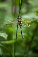 Morning sleep (Tjidididi) Tags: dragonflies sweden summer morning sleep nature