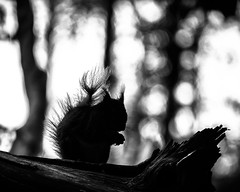 Deep In The Woods (Fourteenfoottiger) Tags: redsquirrel squirrel woodland woods bokeh silhouettes trees forest monochrome blackandwhite highcontrast tufty shapes shade animals nature wildlife britishcountryside britishwildlife fur whiskers